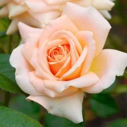 Trandafir pomișor Cream Dream