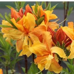 Azalee (Rhododendron)  Csardas