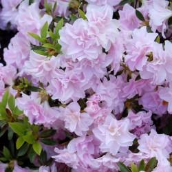 Azalee (Rhododendron) Mrs. Nancy Dippel