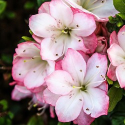 Azalee (Rhododendron)  Peggy Ann