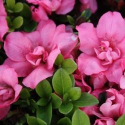 Azalee (Rhododendron) Rokoko