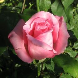 Trandafir teahibrid Bel Ange