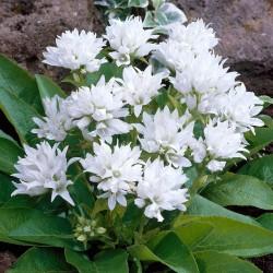 CLOPOTEI (Campanula glomerata GENTI WHITE)
