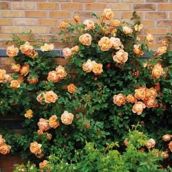 Trandafir cățărător Orange cu ghiveci