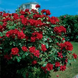 Trandafir cățărător Don Juan