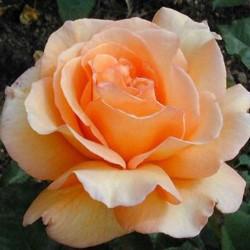 Trandafir teahibrid Doris Tysterman cu ghiveci