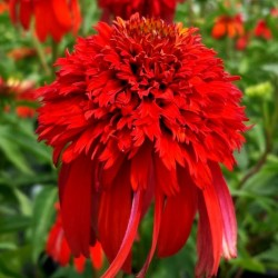 ECHINACEA (Echinacea purp. Hot Papaya)