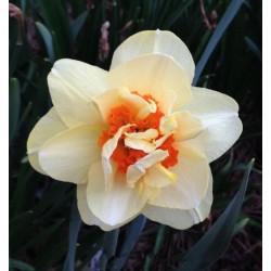 Narcise Flower Drift