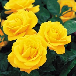 Trandafir de parc Golden Delight cu ghiveci