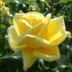 Trandafir teahibrid Golden Perfume