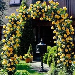 Trandafir cățărător Golden Showers cu ghiveci