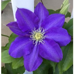 Clematis H.F. Young