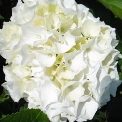 Hortensia macrophylla WUDU