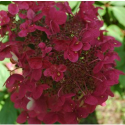 Hortensia WIMS RED
