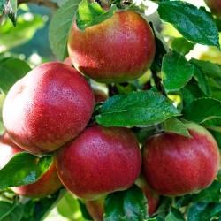Măr Idared cu ghiveci