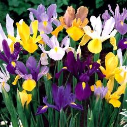Iris Hollandica Mix