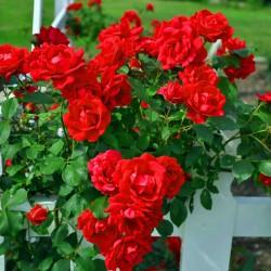 Trandafir cățărător Kormun cu ghiveci