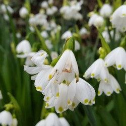 Ghiocei cu flori mari (Leucojum Giant)