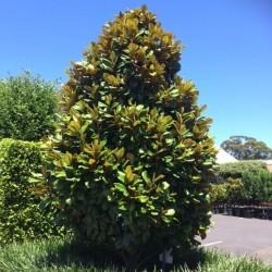 Magnolie Vesnic verde (Magnolia Grandiflora)