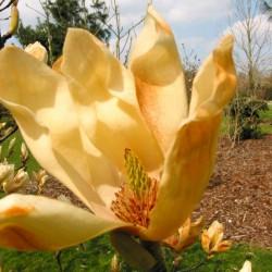 Magnolia  Yellow Lantern