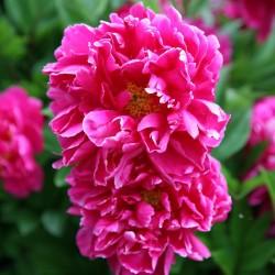Bujor Karl Rosenfield (Paeonia lactiflora)