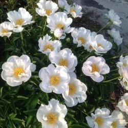 Bujor Krinkled White (Paeonia lactiflora)