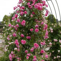 Trandafir cățărător Parade cu ghiveci