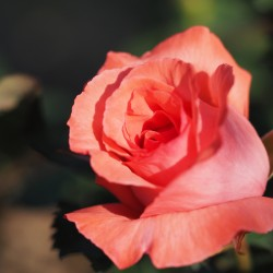 Trandafir teahibrid Pariser Charme cu ghiveci