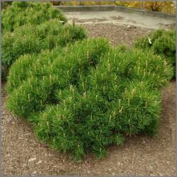 Pin de munte (Pinus mugo pumillo)