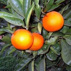 Portocale (Citrus chinesis)