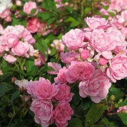 Trandafir târâtor (Rosa FAIRY)
