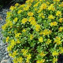 Sedum Floriferum Gold