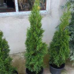 Tuia SMARAGD 90-110cm
