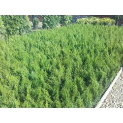 Thuja occidentalis SMARAGD 30-40cm