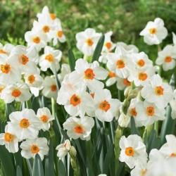 Narcise Tazetta Geranium