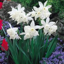 Narcise Thalia