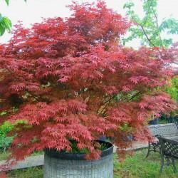 Artar Japonez Rosu (Acer palmatum Atropurpureum)