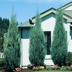 Ienupar Albastru (Juniperus Blue Arrow)
