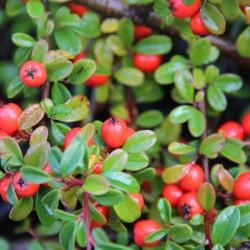 Cotoneaster suecicus CORAL BEAUTY