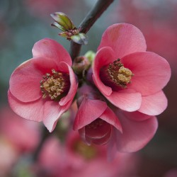 Gutui japonez roz(Chaenomeles speciosa)