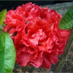 Azalee (Rhododendron)  Fabiola