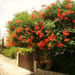 Trompeta Roșie (Campsis Flamenco)