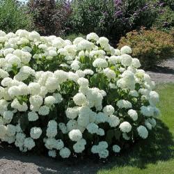 Hortensie (Hydrangea arborescens ANNABELLE)