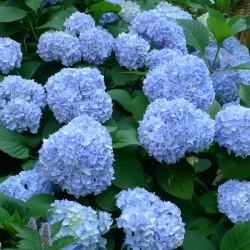 Hortensie Albastru