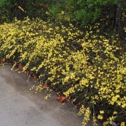Iasomie de iarna (Jasminum nudiflorum)