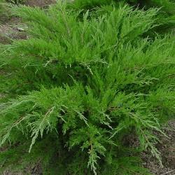 IENUPĂR (Juniperus Mint julep)