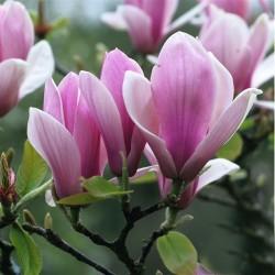 Magnolia soul. Rustica Rubra 150-175cm