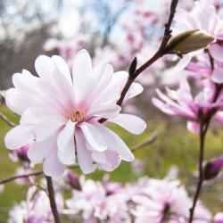 Magnolia stellata Royal Star