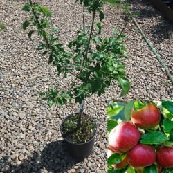 Măr pitic (Red River)