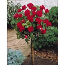 Trandafir pomișor Dame de Coeur